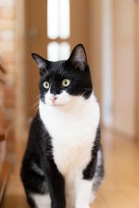 飼い猫の写真素材 [FYI02668234]