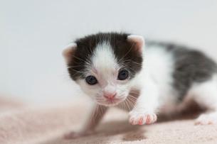 生後2週間の子猫の写真素材 [FYI02668247]