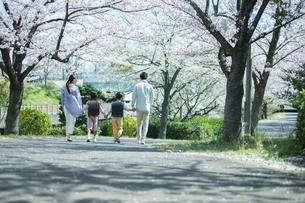 手をつなぎ桜の木の下を歩く幸せな家族の後ろ姿の写真素材 [FYI02668273]