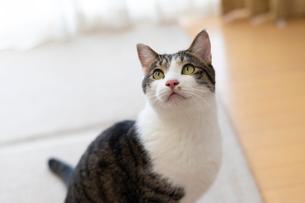 飼い猫の写真素材 [FYI02668304]