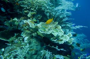 セブ島バリカサグ,ダイビングの写真素材 [FYI02668310]