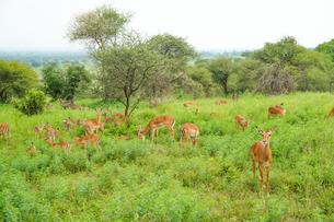 タンザニア サファリの写真素材 [FYI02668324]