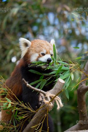 笹を食べるレッサーパンダの写真素材 [FYI02668358]