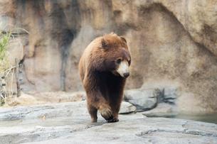 アメリカクロクマの写真素材 [FYI02668366]