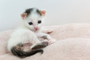 生後2週間の子猫の写真素材 [FYI02668371]
