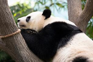 ジャイアントパンダの写真素材 [FYI02668416]