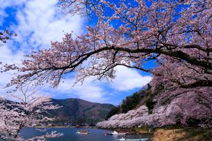 滋賀県 海津大崎の桜の写真素材 [FYI02668463]