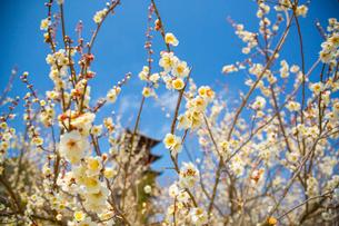 梅の花咲く備中国分寺の五重塔の写真素材 [FYI02668489]