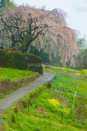 中越家の枝垂桜の写真素材 [FYI02668541]