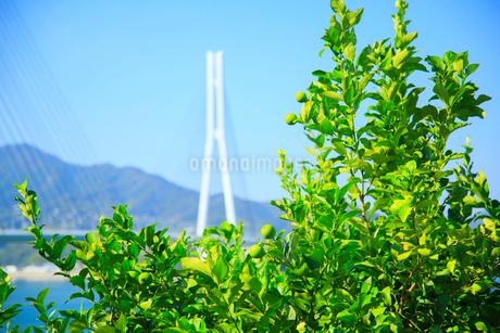 広島県産レモンの畑の写真素材 [FYI02668566]