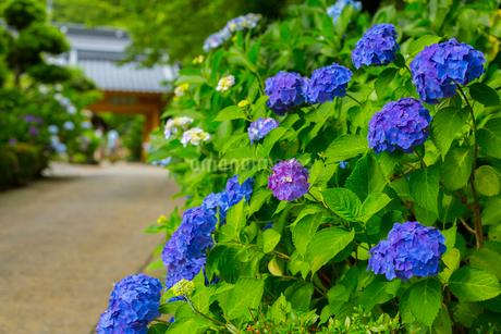 北浦の紫陽花寺の写真素材 [FYI02668653]
