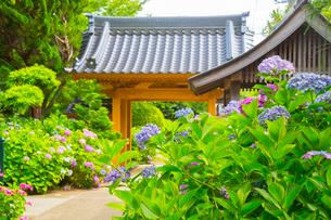 北浦の紫陽花寺の写真素材 [FYI02668657]
