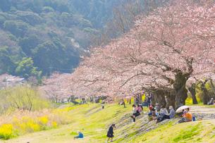 錦川沿いの桜並木の写真素材 [FYI02668755]