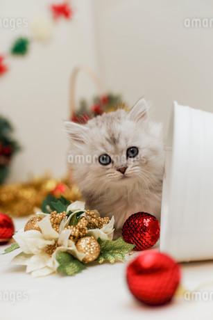 クリスマスと子ねこの写真素材 [FYI02669111]
