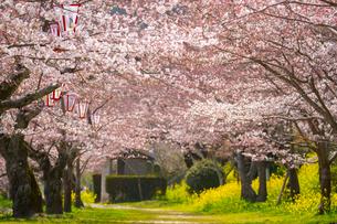 錦川沿いの桜並木の写真素材 [FYI02669182]