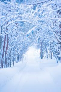 雪の並木道の写真素材 [FYI02669322]