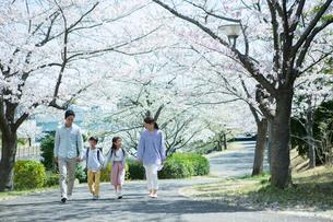 手をつなぎ桜の木の下を歩く幸せな家族の写真素材 [FYI02669356]