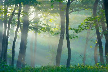 朝日がさし込む霧の森の写真素材 [FYI02669483]