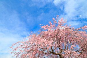 満開の紅しだれ桜の写真素材 [FYI02669490]