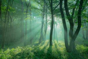 朝日がさし込む霧の森の写真素材 [FYI02669509]