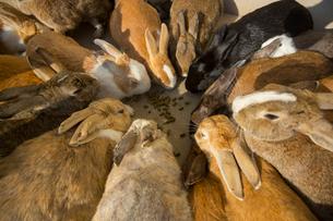 ウサギ島のウサギの写真素材 [FYI02669603]