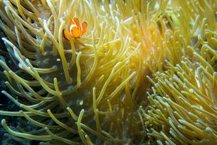 セブ島バリカサグ,ダイビングの写真素材 [FYI02669629]