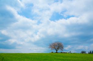 前原の一本桜の写真素材 [FYI02669641]