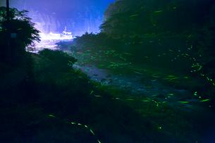 初夏の風物詩ゲンジホタルの乱舞の写真素材 [FYI02669832]