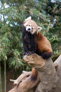 樹上のレッサーパンダの写真素材 [FYI02669944]