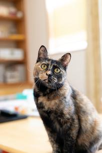 飼い猫の写真素材 [FYI02670030]