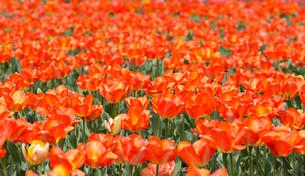 赤いチューリップ畑の写真素材 [FYI02670119]