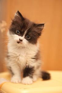 みつめる子猫の写真素材 [FYI02670133]