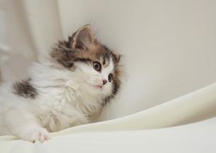 みつめる猫の写真素材 [FYI02670139]