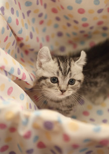 みつめる子猫の写真素材 [FYI02670174]