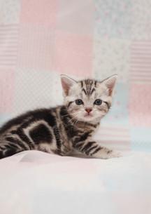 みつめる猫の写真素材 [FYI02670187]