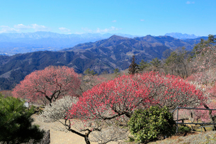 宝登山 梅百花園の写真素材 [FYI02670287]