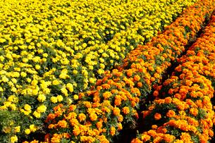 黄色とオレンジ色のマリーゴールドの写真素材 [FYI02670326]