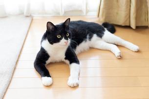 飼い猫の写真素材 [FYI02670348]