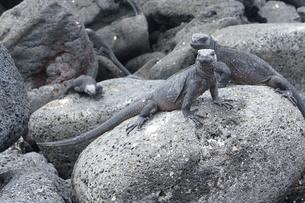 ウミイグアナの写真素材 [FYI02670418]