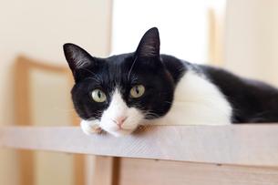 飼い猫の写真素材 [FYI02670443]