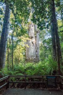 ニュージーランド、カウリフォレストの写真素材 [FYI02670448]