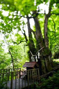 縁桂(森の巨人たち100選)の写真素材 [FYI02670529]