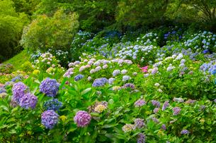 北浦の紫陽花寺の写真素材 [FYI02670639]