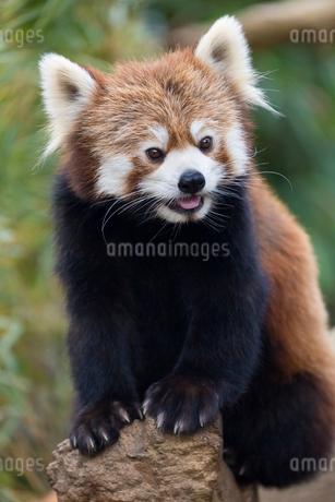 舌を出すレッサーパンダの写真素材 [FYI02671192]