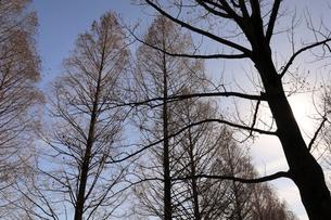 木のシルエットの写真素材 [FYI02671232]
