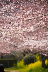錦川沿いの桜並木の写真素材 [FYI02671275]