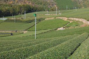京都府 宇治茶の茶畑の写真素材 [FYI02671288]