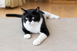 飼い猫の写真素材 [FYI02671294]