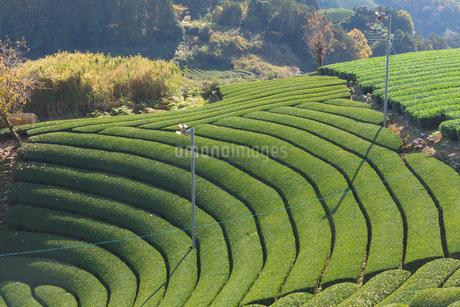 京都府 宇治茶の茶畑の写真素材 [FYI02671301]
