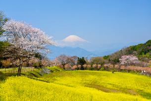 菜の花と富士山の写真素材 [FYI02671319]